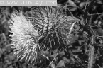 Black and White Flora Pictures